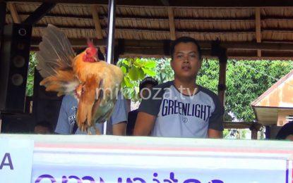 Kontes Ayam Sombong, Pemenang Harus Membusungkan Dada Sambil Berjalan