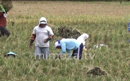 Terserang Hama, Petani di Limboto Gagal Panen