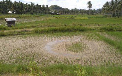 Kadis Pertanian : Petani di Tibawa Tak Perlu Khawatir Gagal Panen
