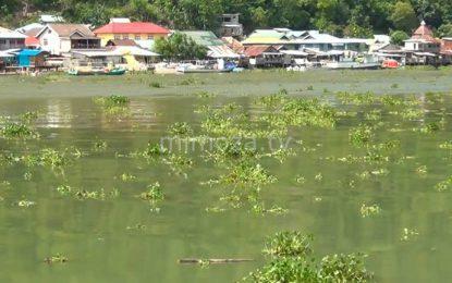 Eceng Gondok Mulai Mengotori Sungai Bone Dan Perairan Laut