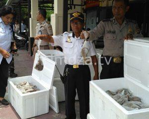 Petugas Gabungan Amankan Ribuan Ekor Tikus Dari Luwuk Banggai