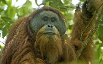 Pembangunan PLTA Di Hutan Lindung Batang Tour, Lonceng Kematian Orangutan